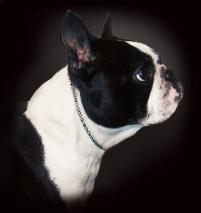 boston terriers,breeders,stud service,puppies for sale,akc,champion,spokane,wa,washington