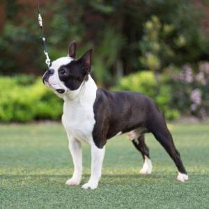 AKC, health tested, boston terriers, puppies, breeder, for sale, spokane, wa
